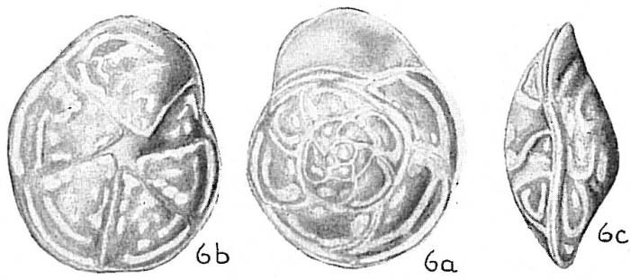Epistomina elegans