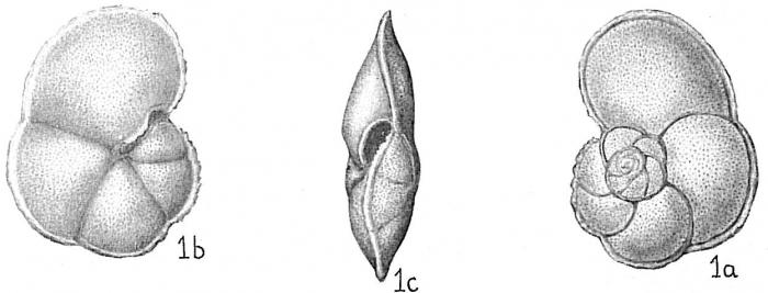 Globorotalia menardii