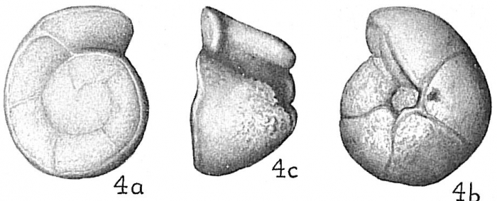 Globorotalia truncatulinoides