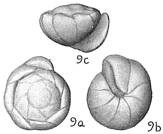 Gyroidina soldanii nitidula