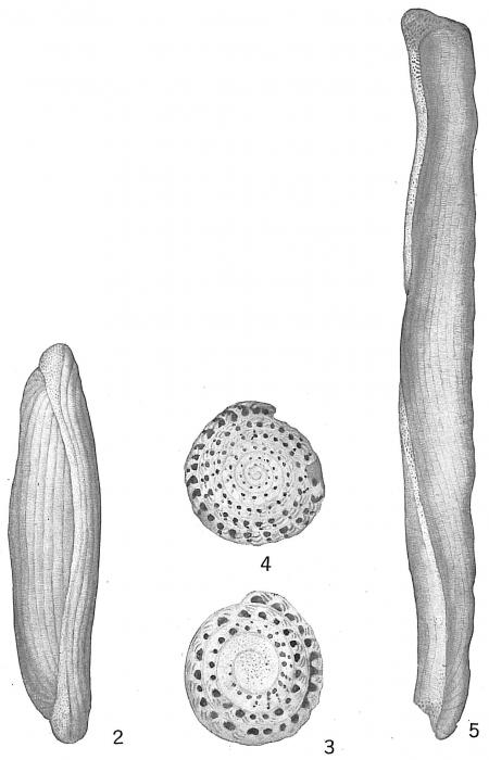 Alveolina boscii (Misidentification) Alveolinella quoyi