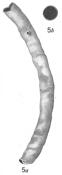 Bathysiphon papyraceus
