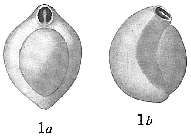 Biloculina irregularis