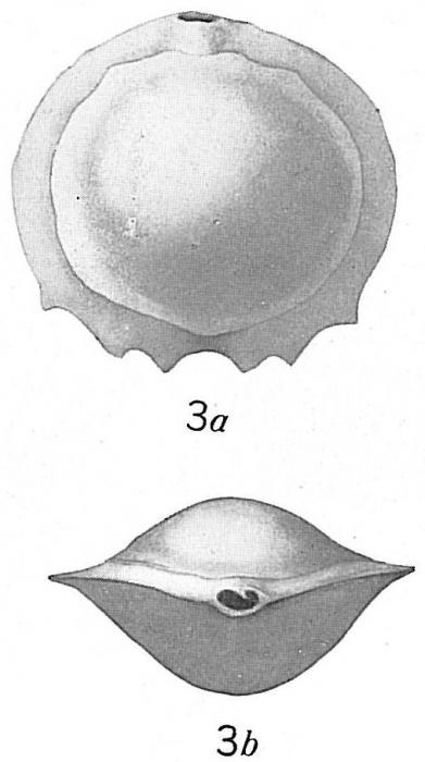 Biloculina serrata