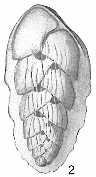 Bolivina hantkeniana