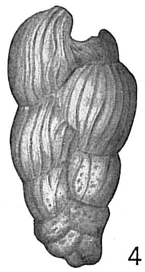 Bolivina karreriana