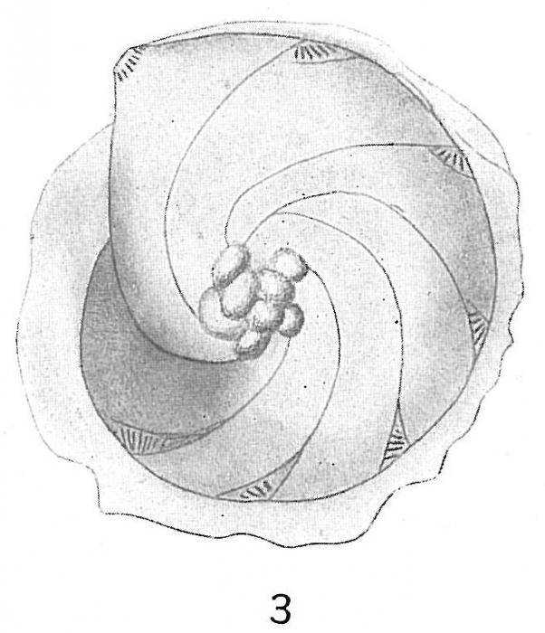 Cristellaria orbicularis var. subumbonata
