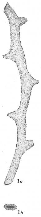 Dendrophrya attenuata