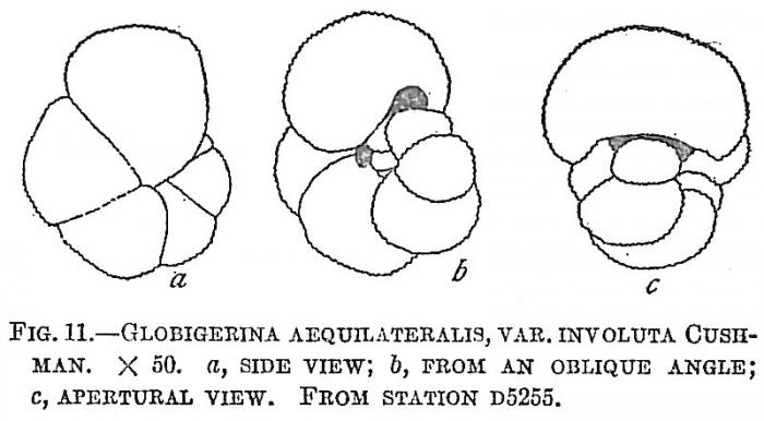 Globigerina aequilateralis involuta