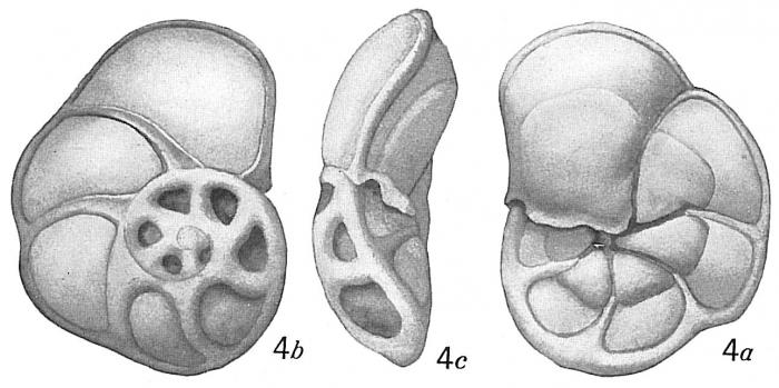 Pulvinulina concentrica