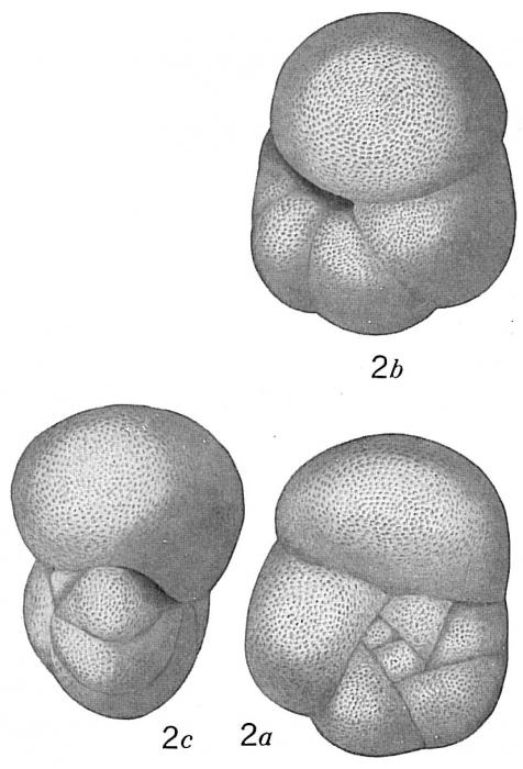 Pulvinulina philippinensis