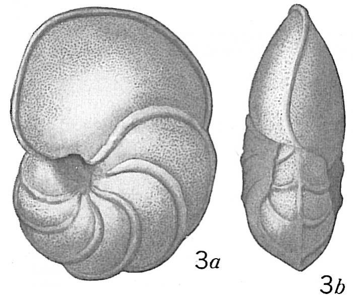 Pulvinulina scabra