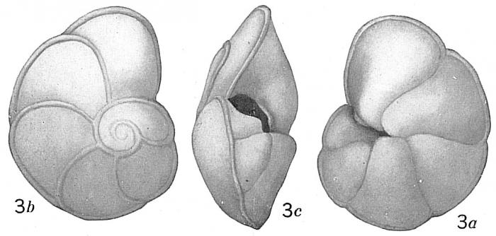 Pulvinulina tumida