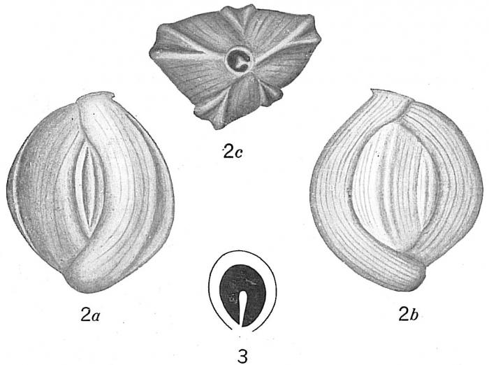 Quinqueloculina bicarinata