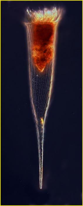 Rhabdonella spiralis (Fol, 1881)
