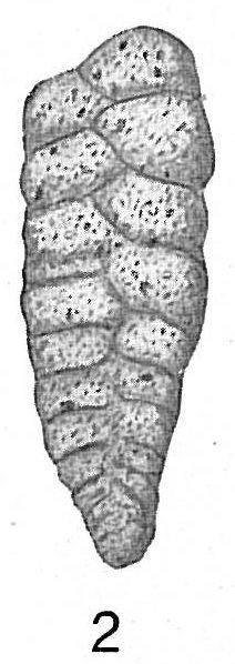 Textularia sagittula