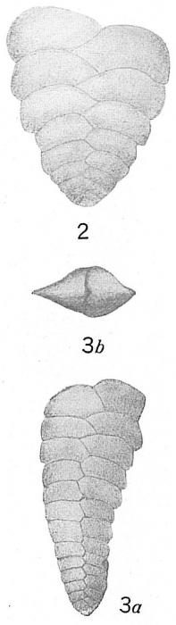 Textularia semialata
