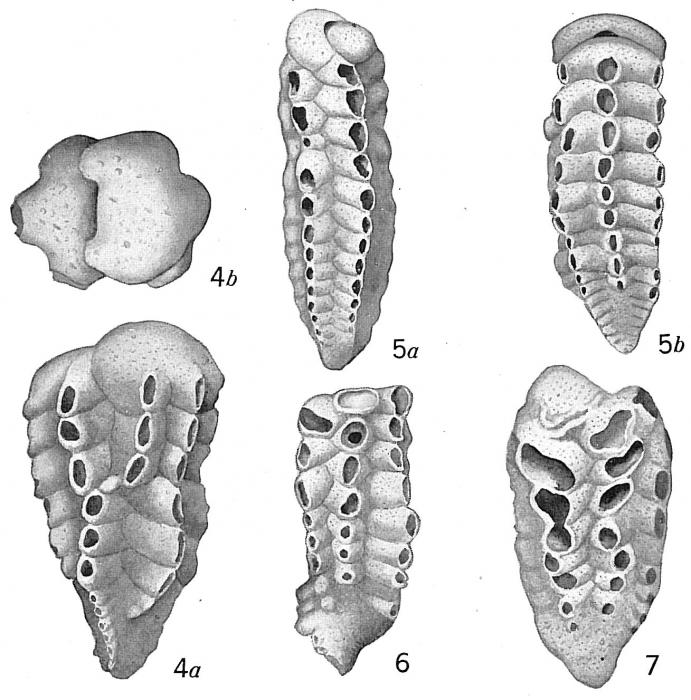 Textularia siphonifera