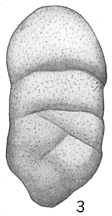 Tritaxia indiscreta