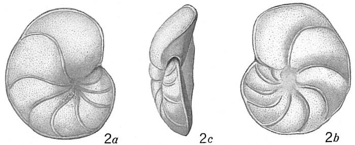 Truncatulina lobatula