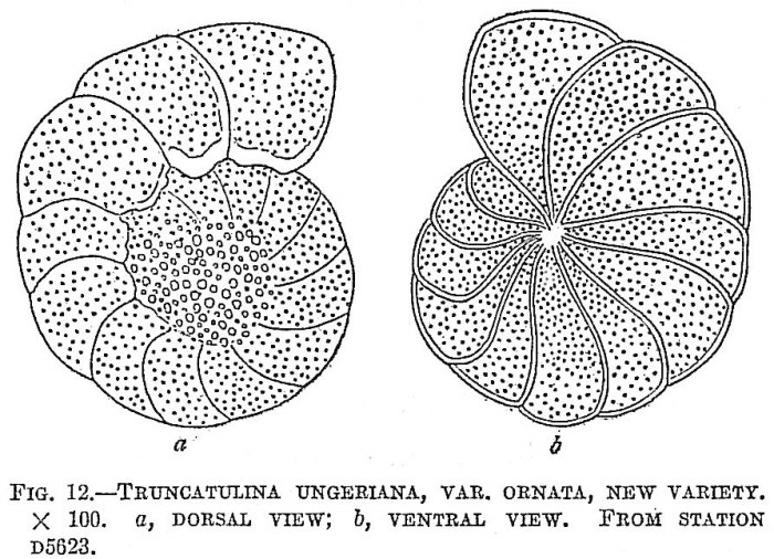 Truncatulina ungeriana ornata