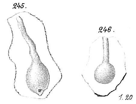 Ammolagena clavata