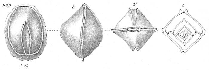 Biloculina quadrangularis