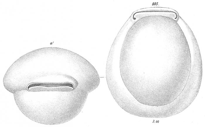 Biloculina simplex var.