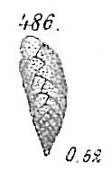 Bolivina dilatata