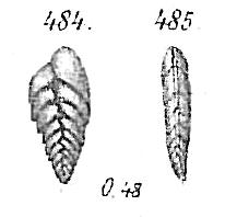 Bolivina dilatata