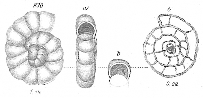 Ceratina trochamminoides
