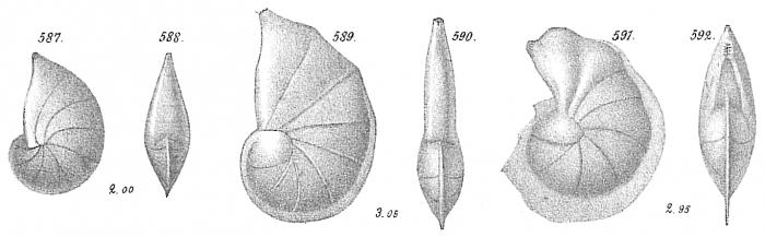 Cristellaria gibba