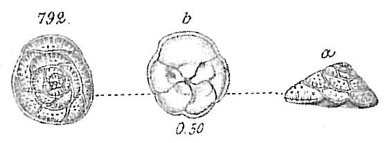 Discorbina rosacea