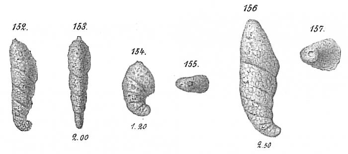 Ammotium cassis