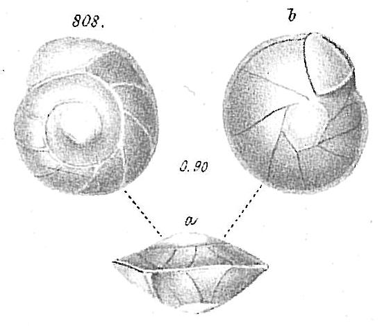 Pulvinulina elegans