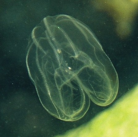 Lobata comb jelly