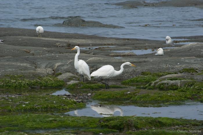 Egretta thula - great egret