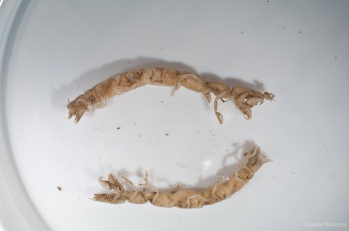 Calathura brachiata