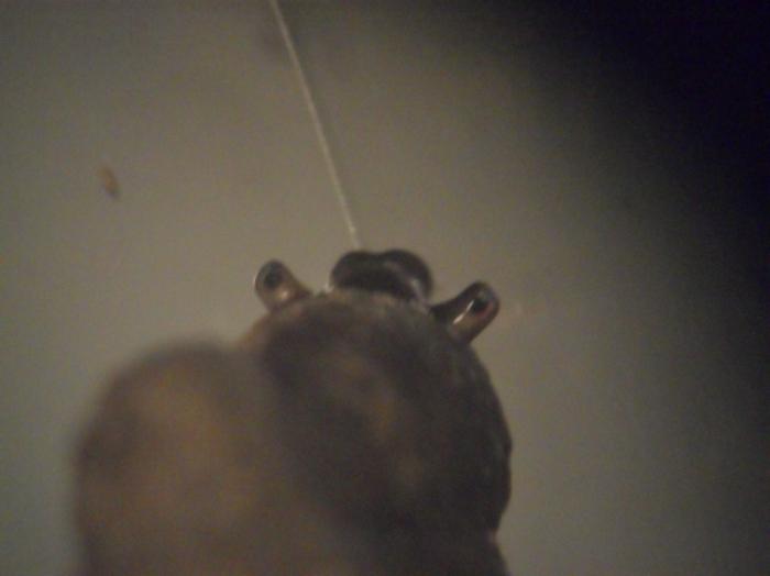 Gray's kustslakje (Assiminea grayana)