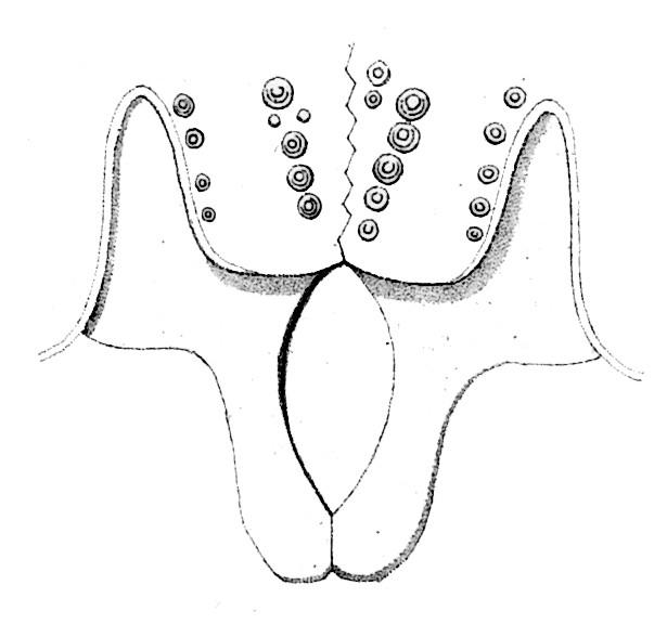 Echinus pileolus Lamarck, 1816