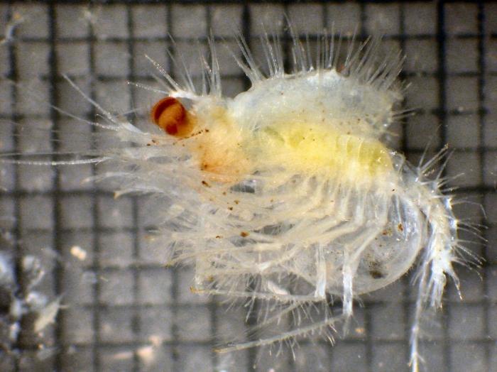 Caesaromysis hispida