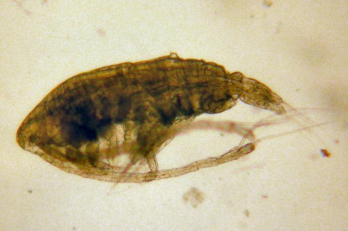 Calanus marshallae