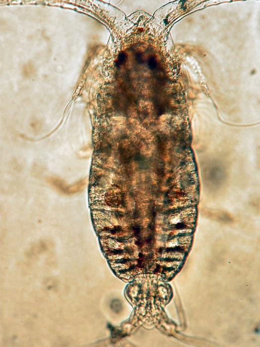Calocalanus pavoninus