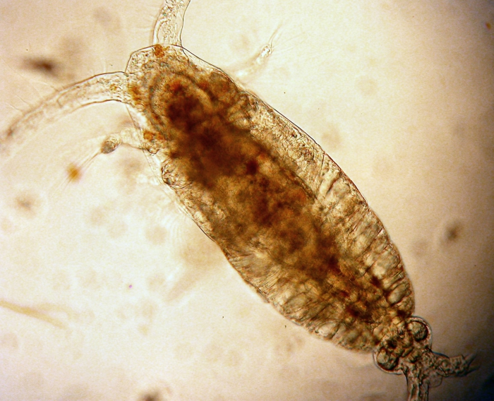 Calocalanus styliremis