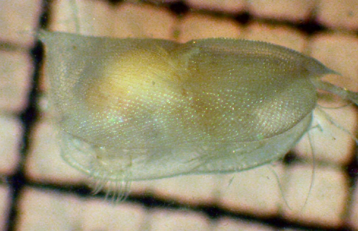 Conchoecissa ametra