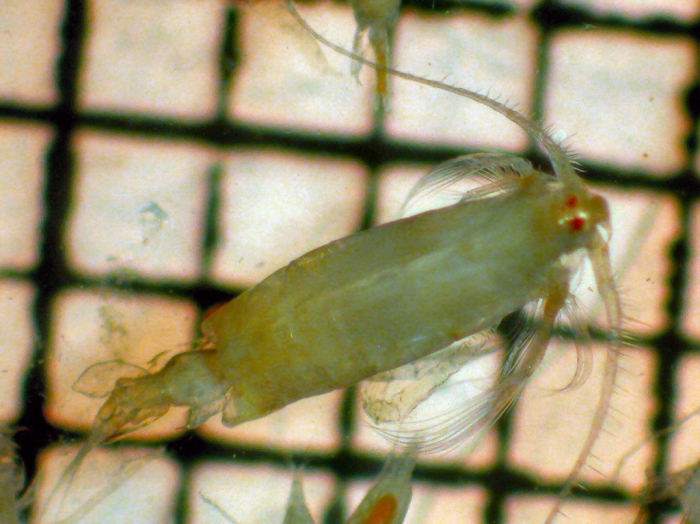 Epilabidocera longipedata