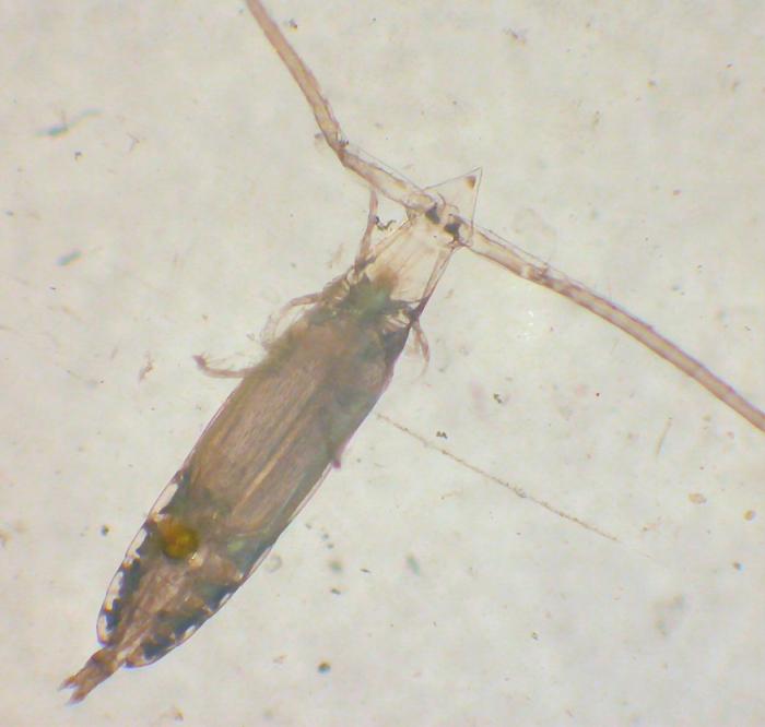 Eucalanus californicus