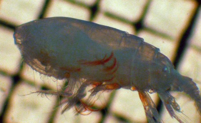Euchirella pseudopulchra
