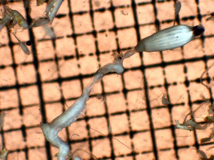 Siphonophorae