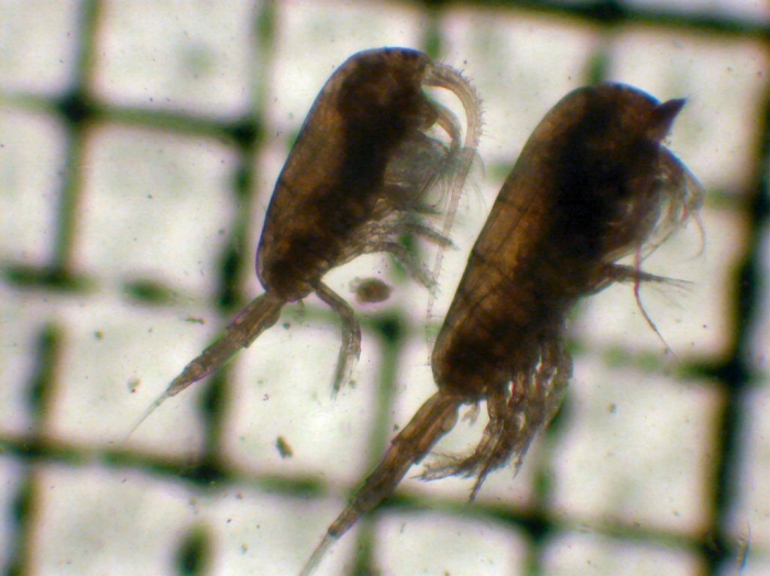 Metridia pseudopacifica and M. pacifica